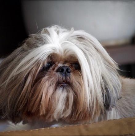 choo-choo-shihtzu-instagram-Unique-Male-Dog-Names