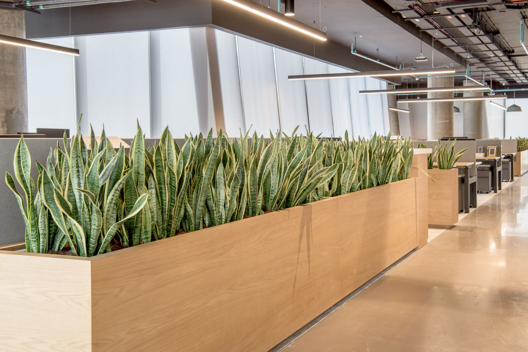 Snake Plants in Office Storage Planters
