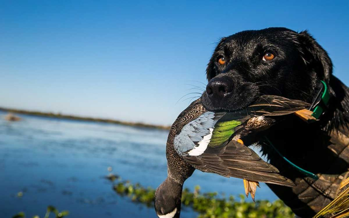 duck in a dog's mouth on the water