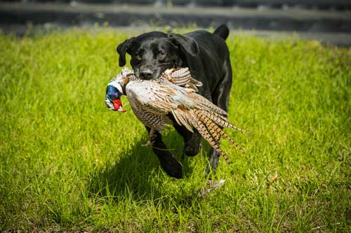 pheasant in dogs mouth running in grass