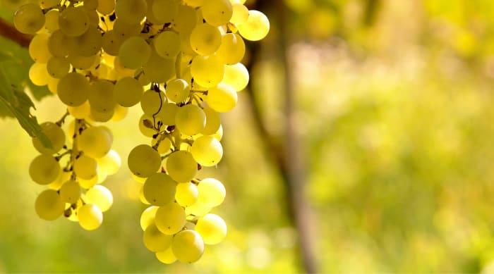 Dry wine: Sauvignon Blanc