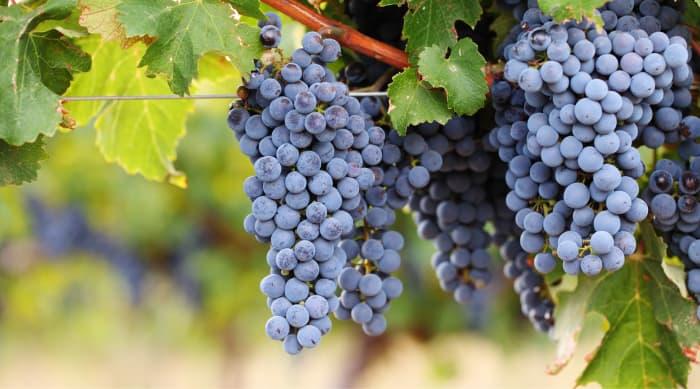 French red wine: Cabernet Sauvignon