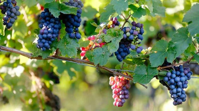 French red wine: Pinot Meunier
