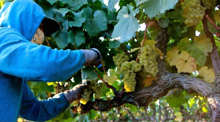 The viticulture of Chardonnay Grapes