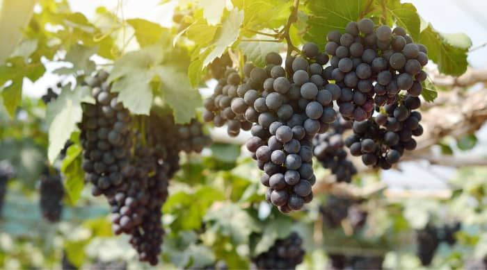Red wine: Merlot