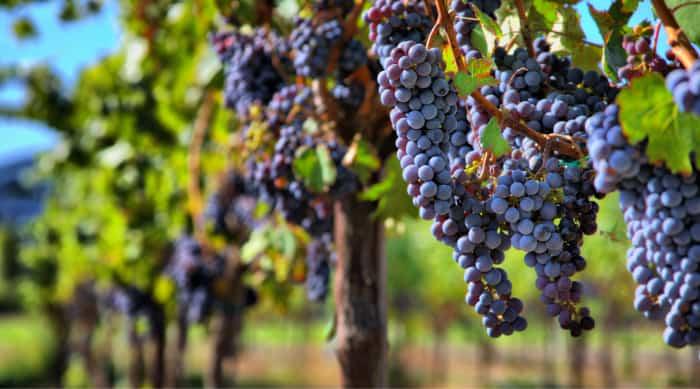 Red wine: Pinot Noir