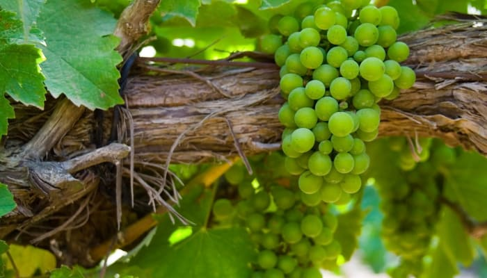 Chenin Blanc: The Grape Used to make Vouvray Wine
