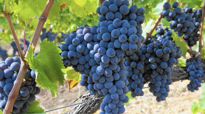 Viticulture of Sangiovese Grapes