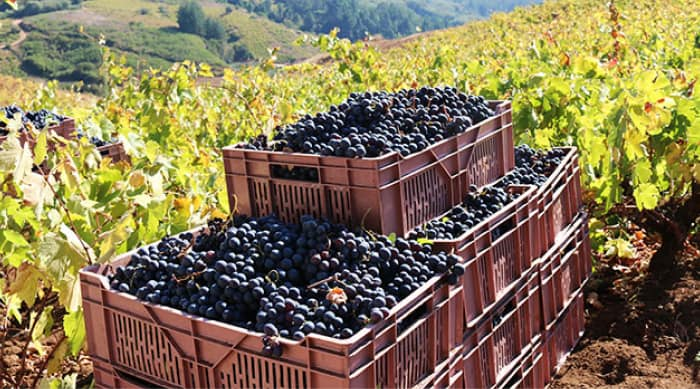 Sangiovese Winemaking Techniques