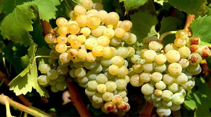 Grape Varieties Produced In The Cotes du Rhône Region