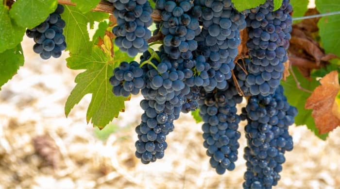 A Brief History of Grenache