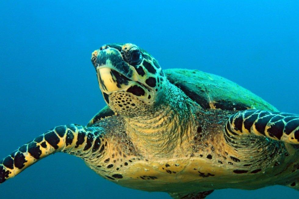 En rekke reservater beskytter havskilpadden. Her fra Coiba.