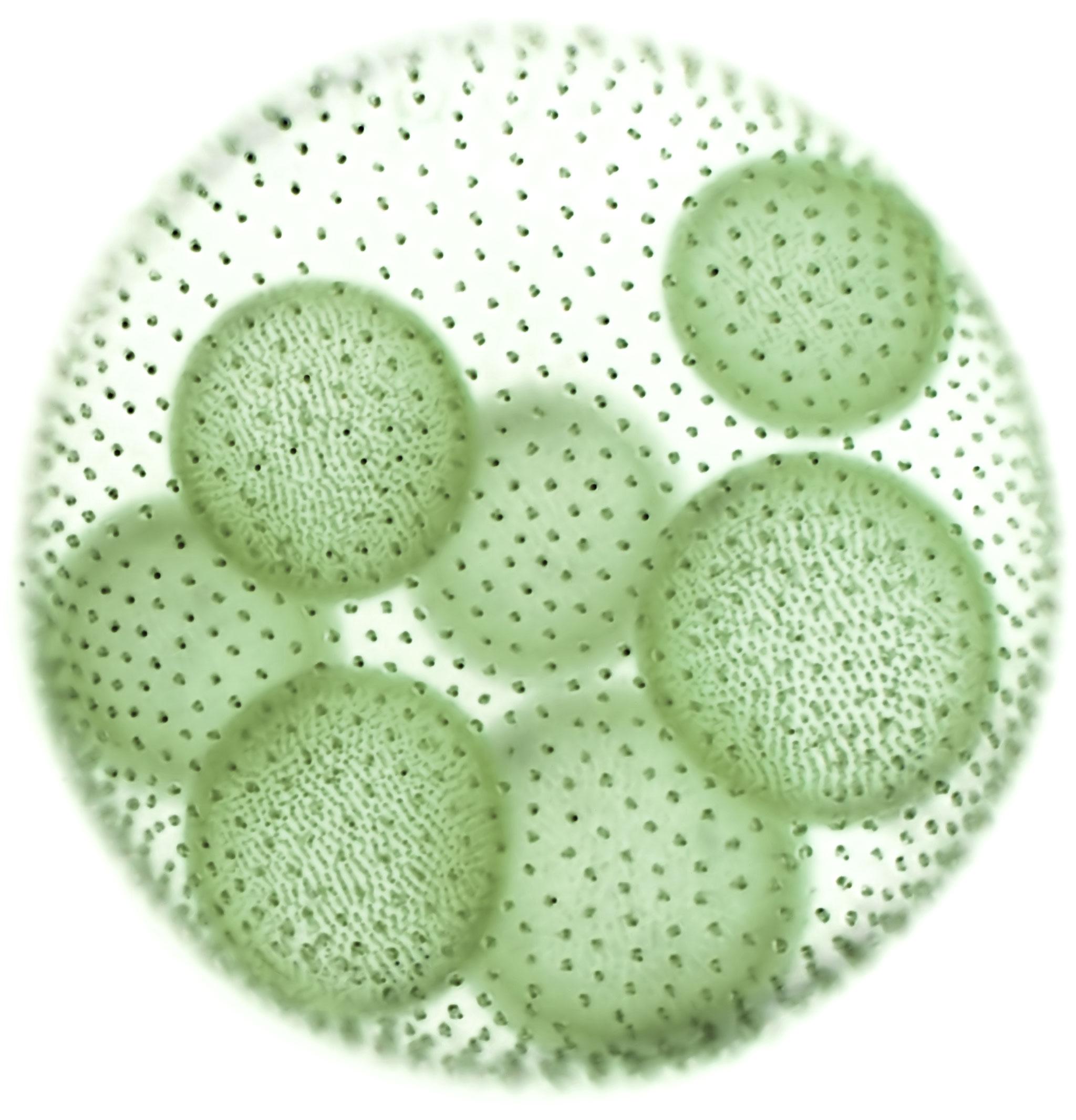 Algae cell