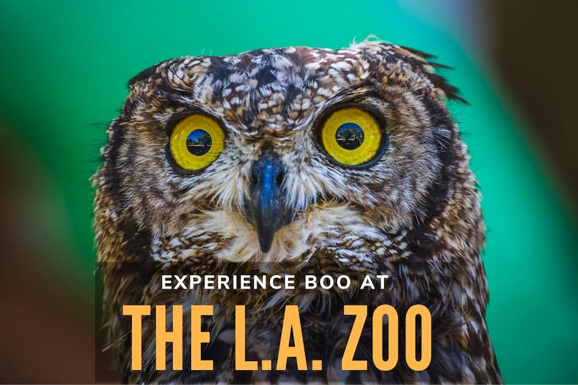Experience Boo at The L.A. Zoo - Owl Closeup