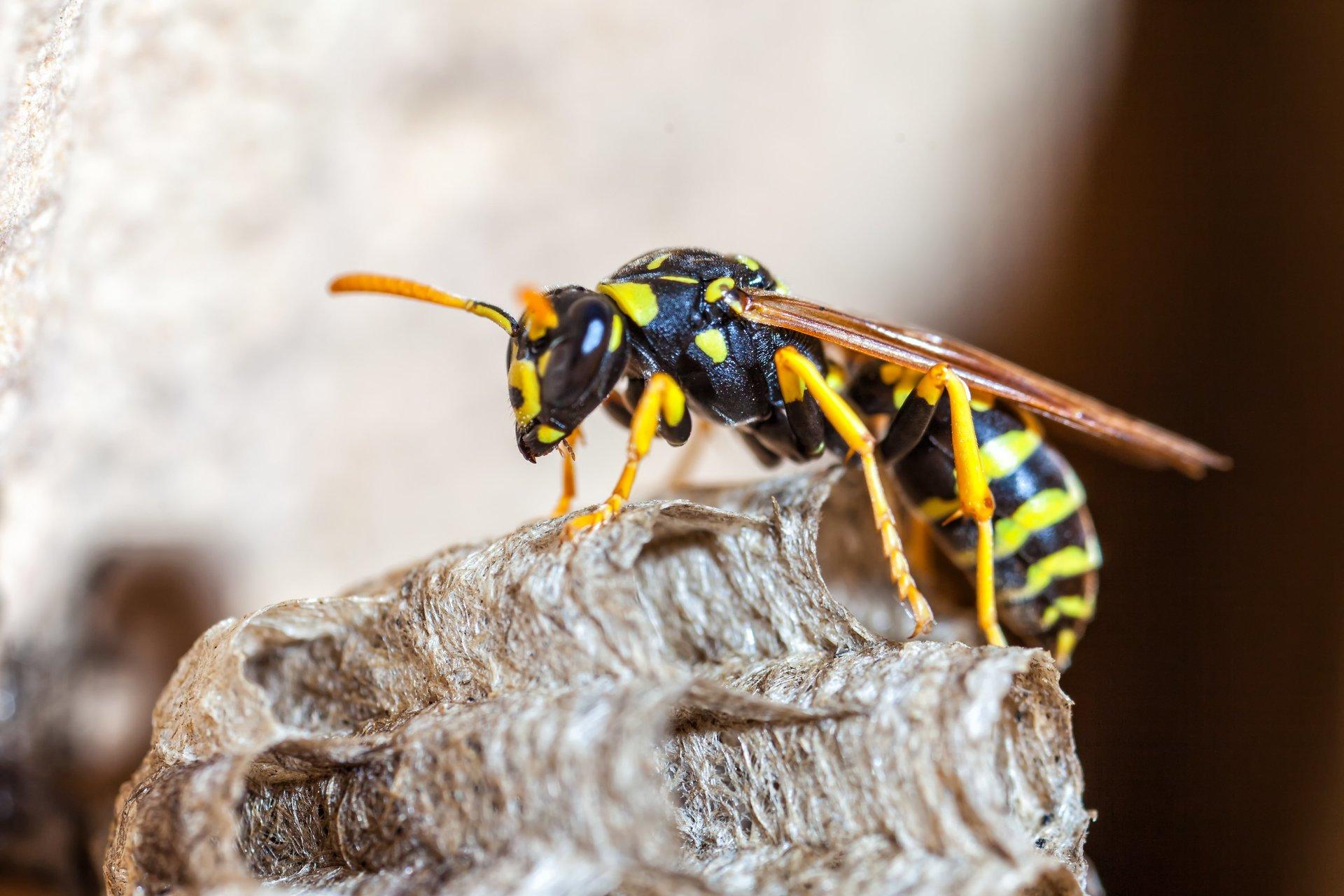 Sacramento Wasp and Bee Extermination Services