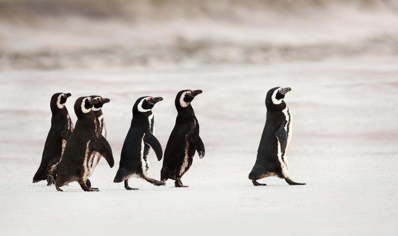 penguin-leading-the-pack