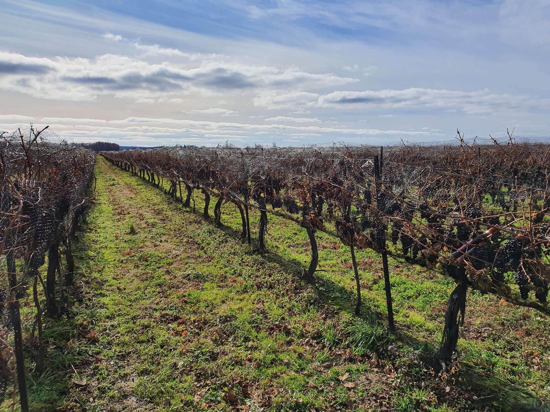 Ľadové víno - krajina