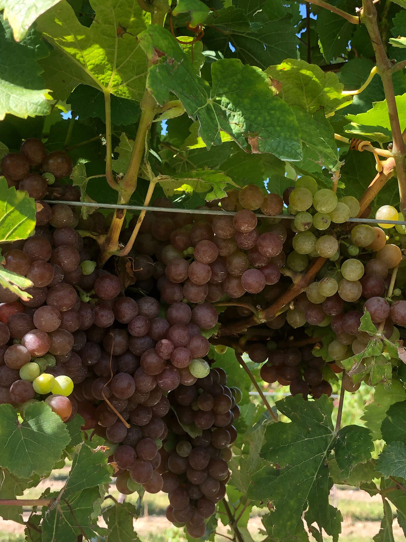 Icewine - bunch of grapes