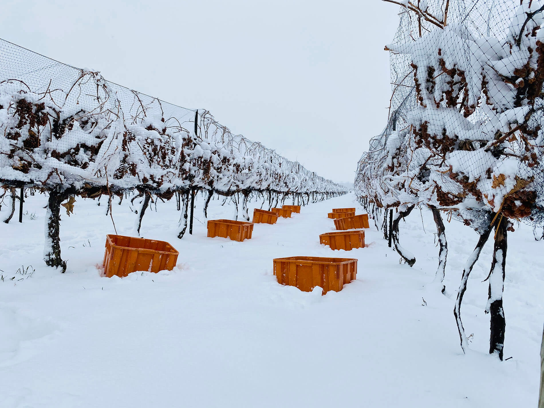 Ľadové víno - zber