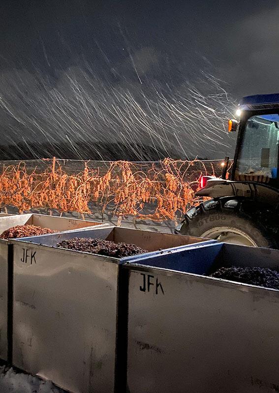 Icewine harvest at night