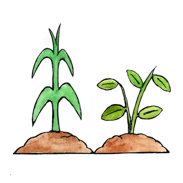 Illustration of cover crops for soil protection and enrichment.