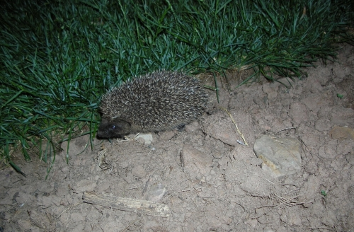 Help for hedgehogs
