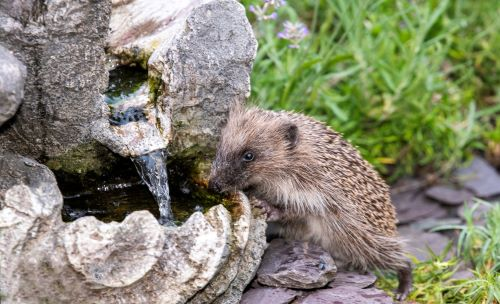 Help our Hedgehogs