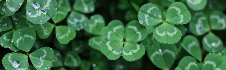 field of Irish clovers