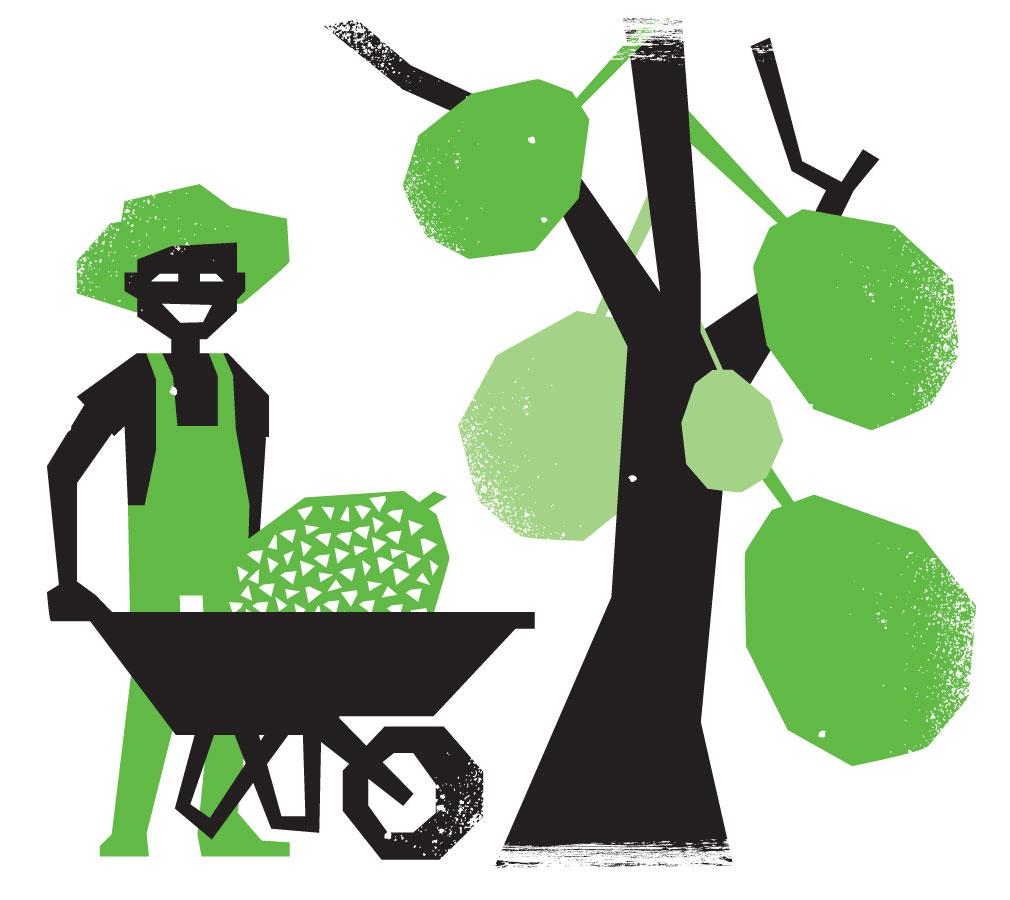 Farmer harvesting jackfruits