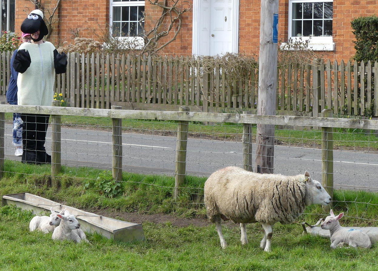 Local Lambs Unperterbed by the Arrival of Shaun!
