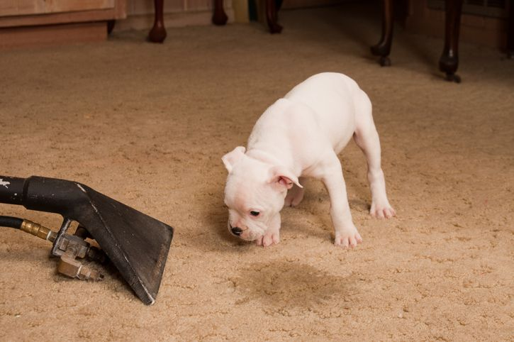 Pet carpet stain and odor treatment in San Antonio, TX