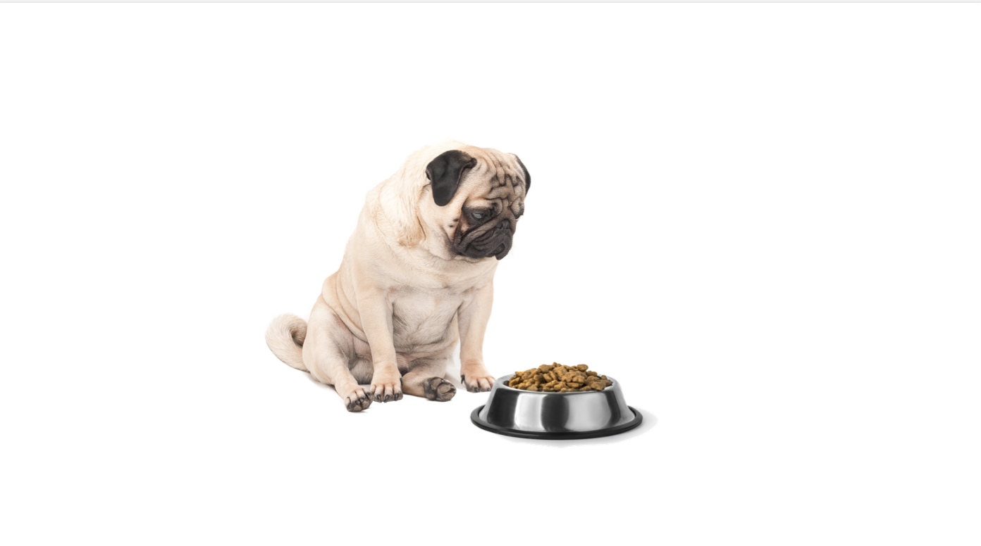 Uninterested Pug staring at bowl of dry kibble