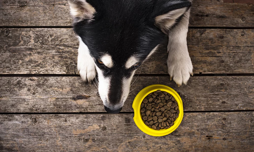 Husky unsatisfied with kibble meal in yellow plastic bowl