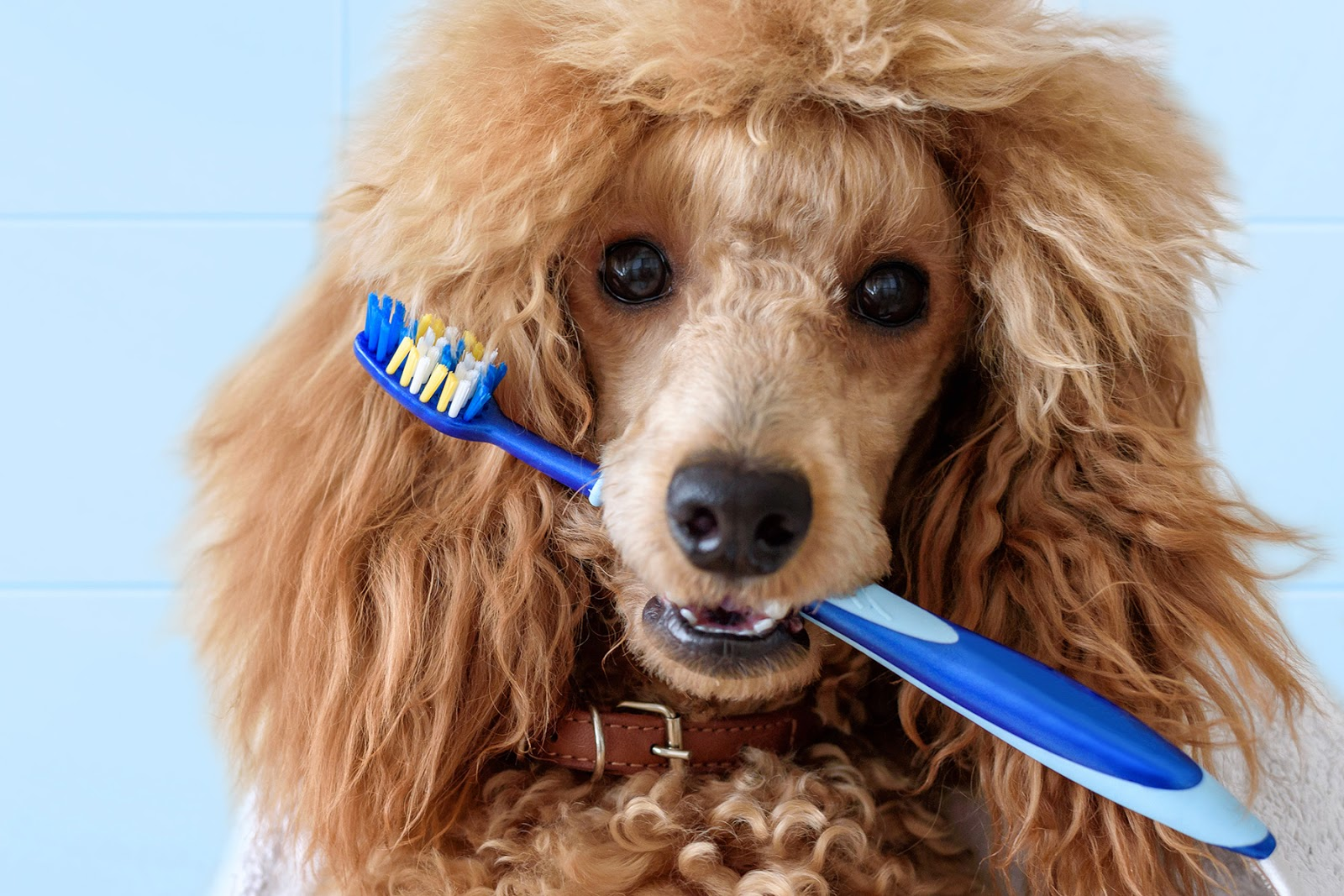 Toy Poodle biting on toothbrush