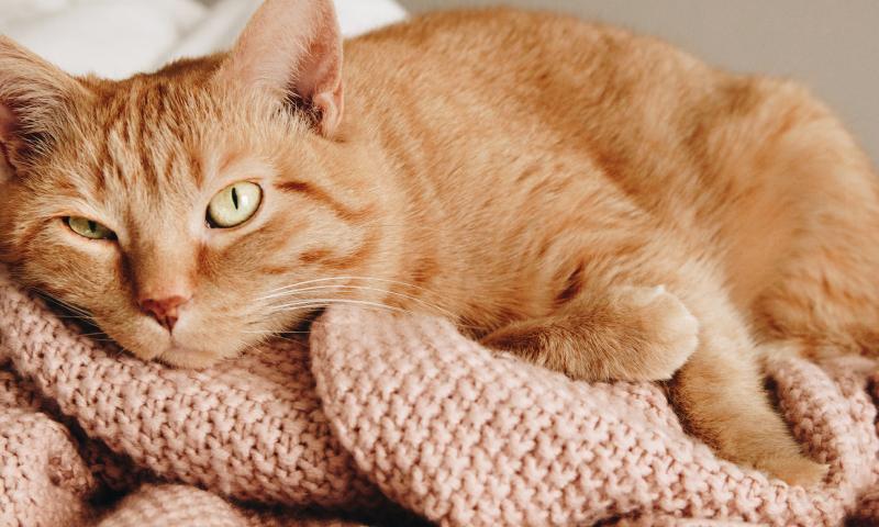 Orange Tabby cat sleeping on pink knitted blanket