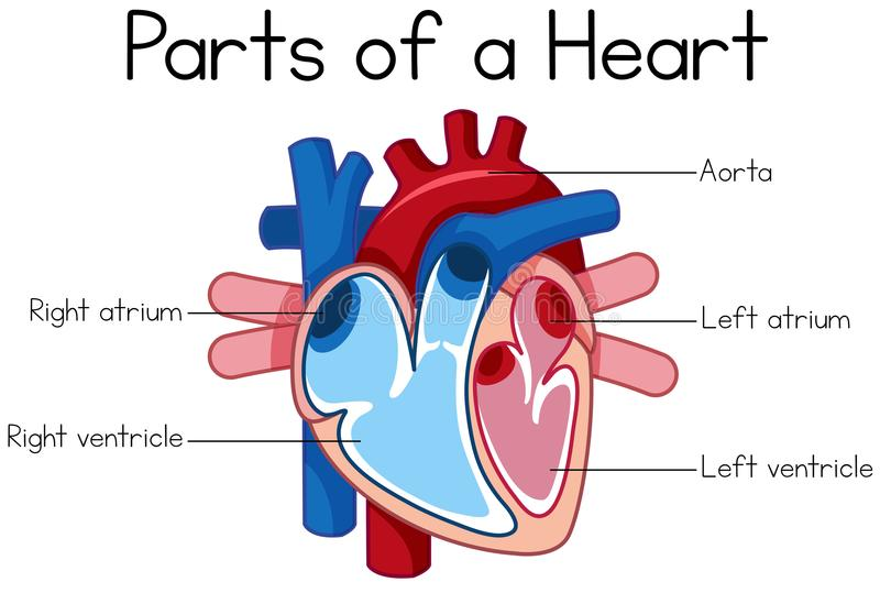 Heart Diagram Stock Illustrations – 7,432 Heart Diagram Stock ...