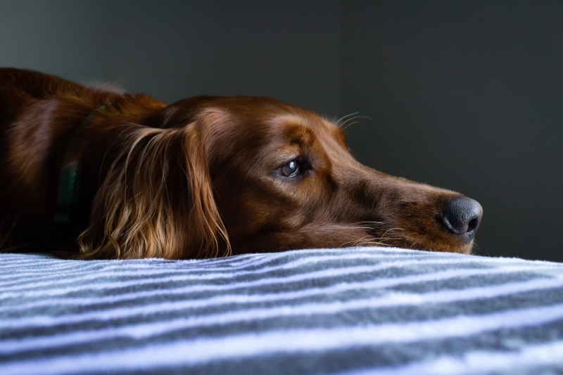 Golden Retriever low in energy laying down on plaid patterned bed