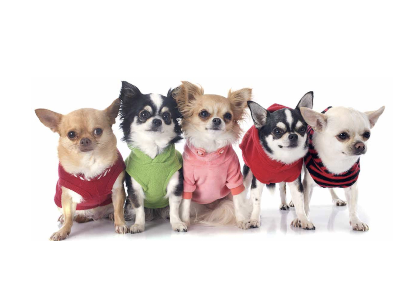 Five Chihuahuas standing side by side with sweaters on