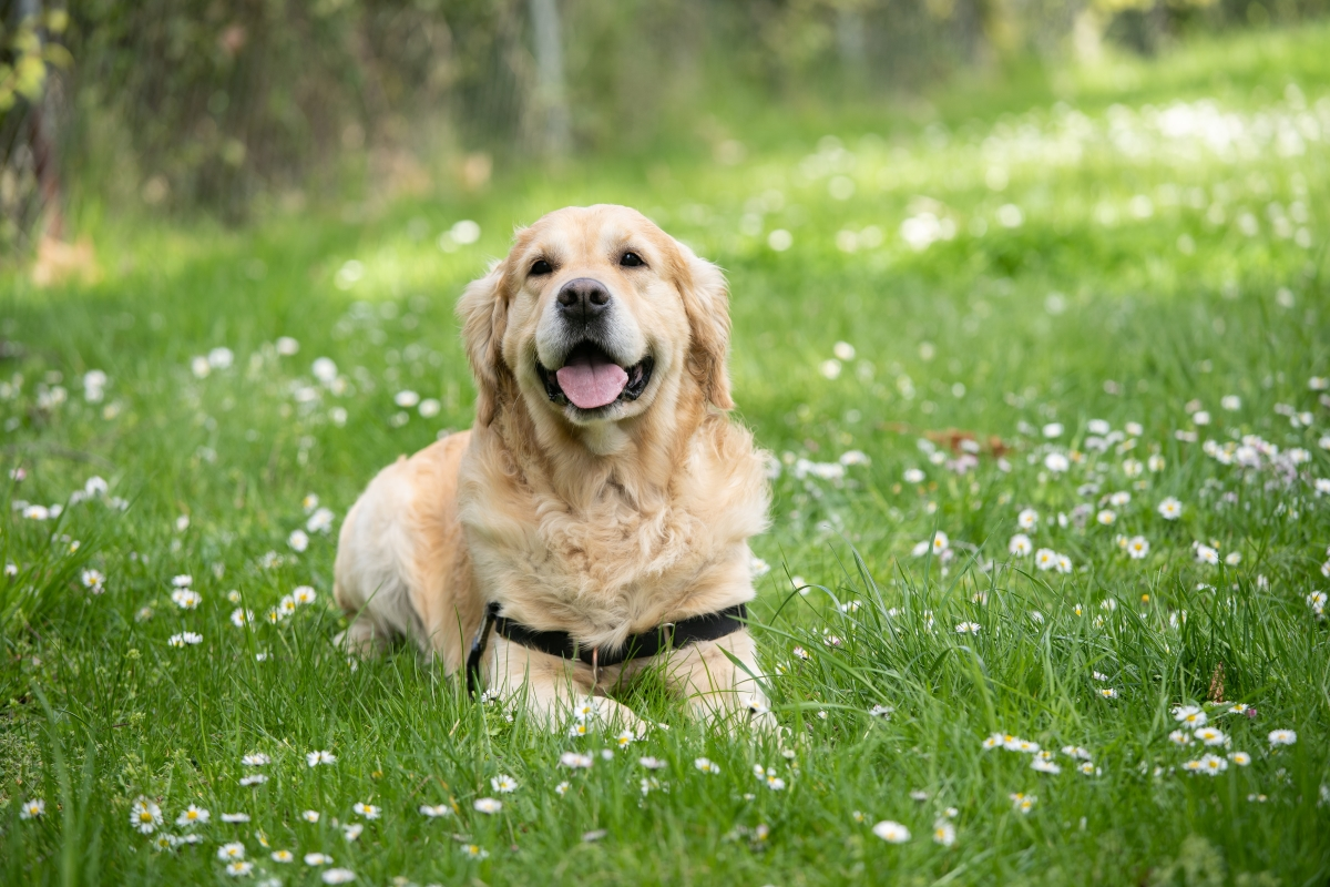 Happy Golden Retriever laying down in a field of green grass and daisies