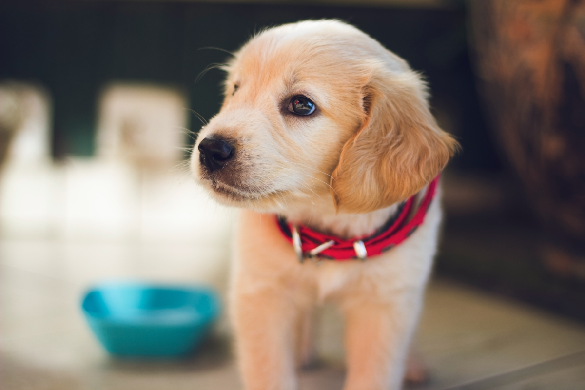 Golden Retriever puppy curious