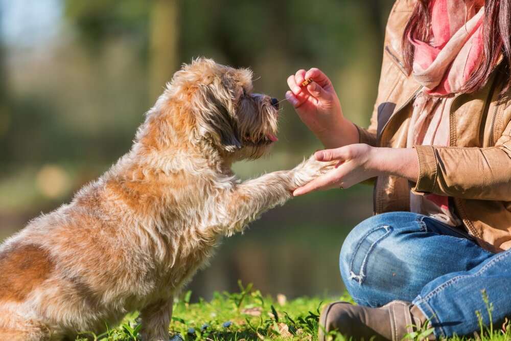 Border Terrier sitting and giving paw to pet owner for a treat