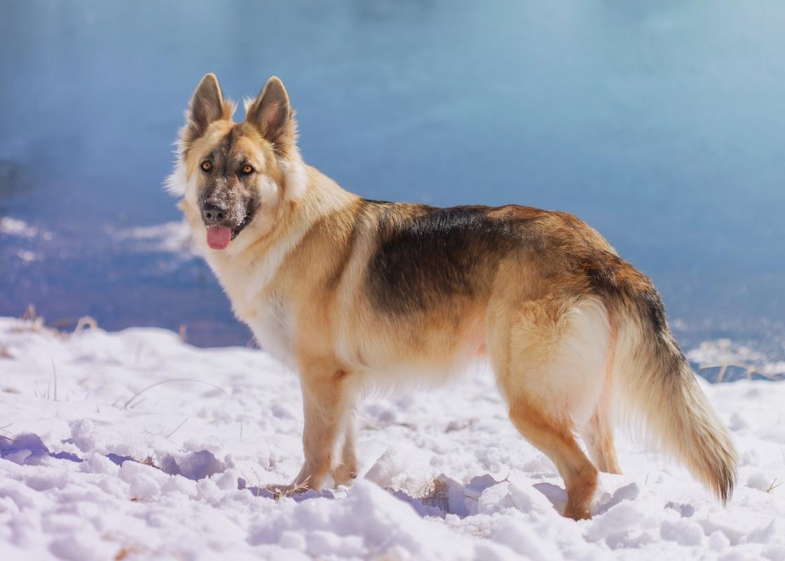 German Shepherd walking in the snow next to a body of water