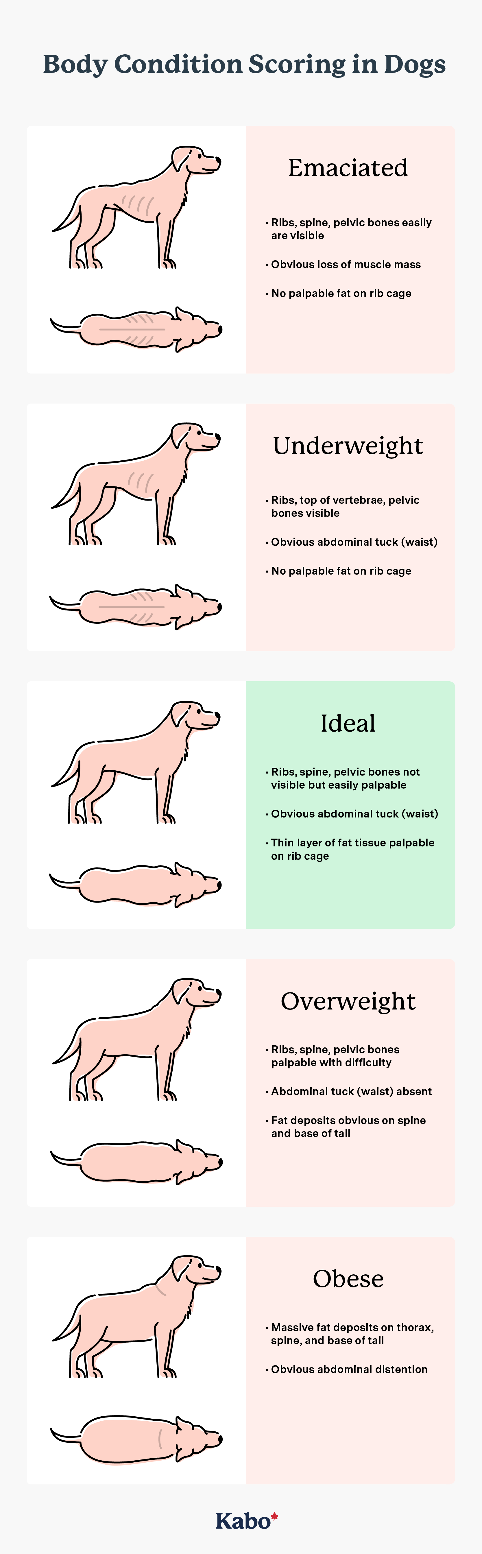 Body condition scoring in dogs graphic illustration defining underweight ideal overweight and obese dogs