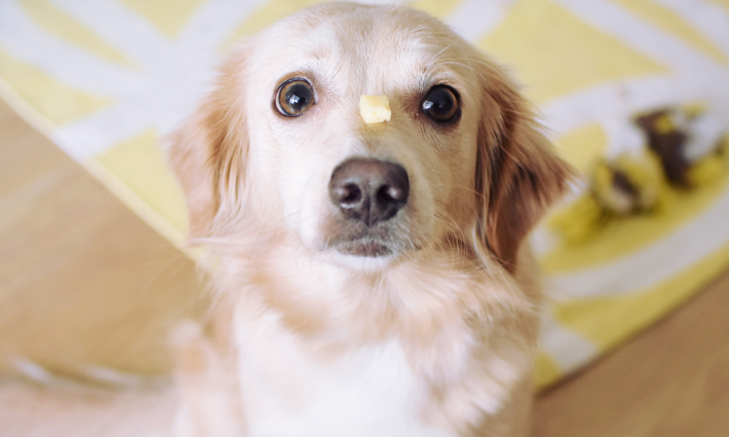 Golden Retriever sitting with cheese balancing on muzzle