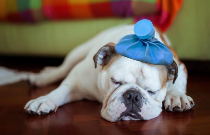 Lethargic pitbull sleeping