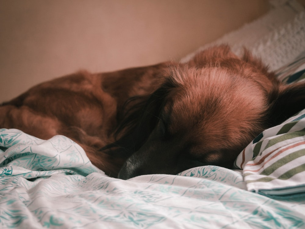 brown long coated dog lying on bed