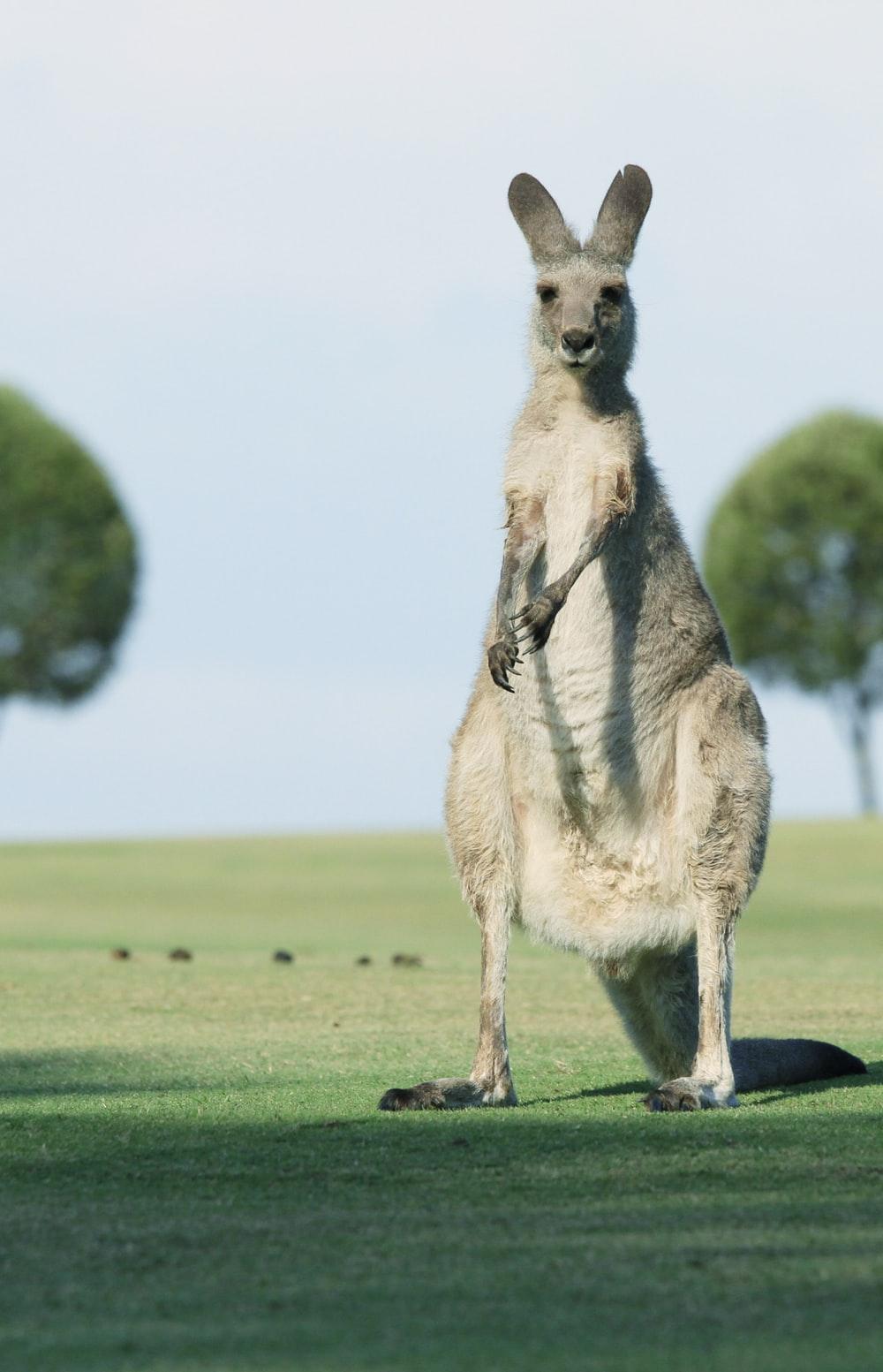 Kangaroo standing in green grass field