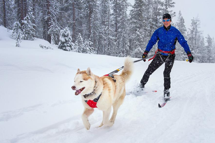 Husky running down snow path pulling man on skis