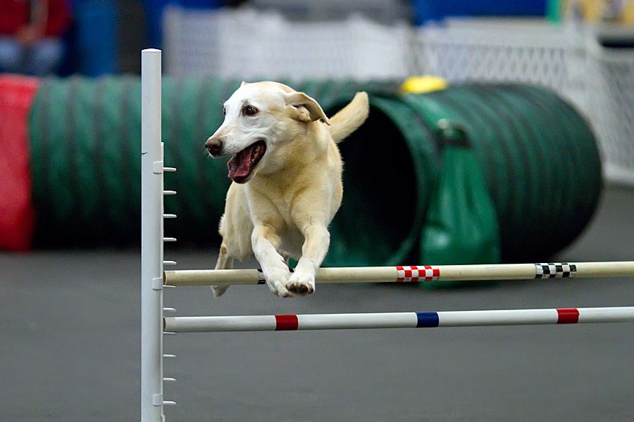 Golden smooth coat dog jumping over obstacles