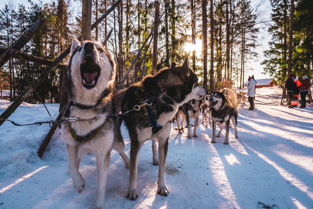 Pack of huskies exploring woods with sun beaming through trees